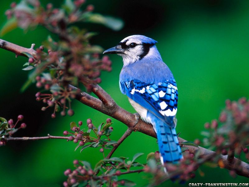 beautifulbluebirdwallpaper.jpg